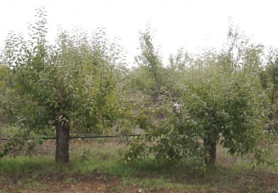 (Видео)Слаба реколта от ябълки в Кюстендилско